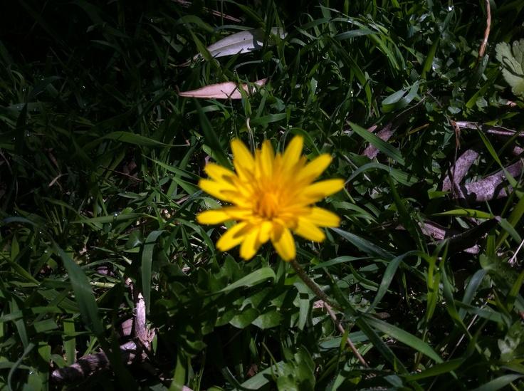 Margherita gialla di campo