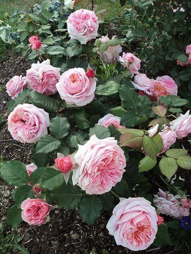 mary ann tantau garden pinterest flowers gardens. Black Bedroom Furniture Sets. Home Design Ideas