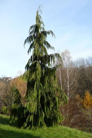 See pictures and basic growing facts for 19 weeping trees.These lovely cultivars work well as specimen trees for your garden.: Weeping Alaskan Cedar