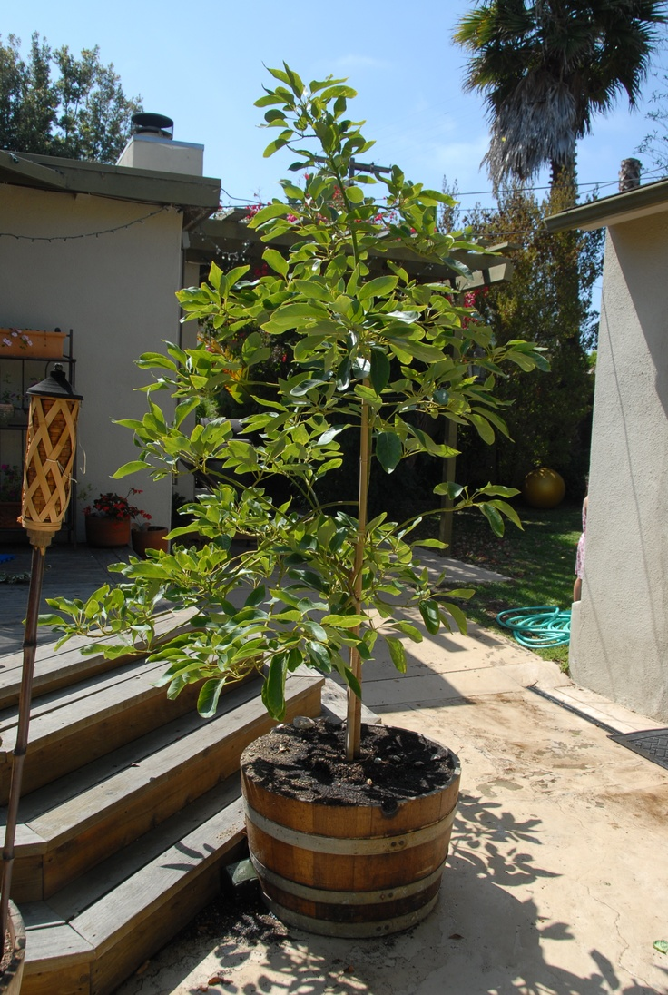 avocado tree in a wine barrel how californian can one - Growing Avocado Trees