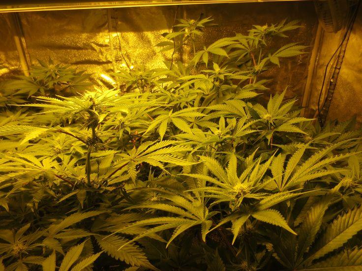 Crystal White week 3 12/12.  4 weeks vegetative,