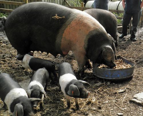 an introduction to the history of the hampshire breed Breeds of swine swine production is a highly scientific and specialized business in american agriculture hampshire is smaller than some breeds - 4 - landrace the american landrace came from de-scendents of the danish landrace that had.