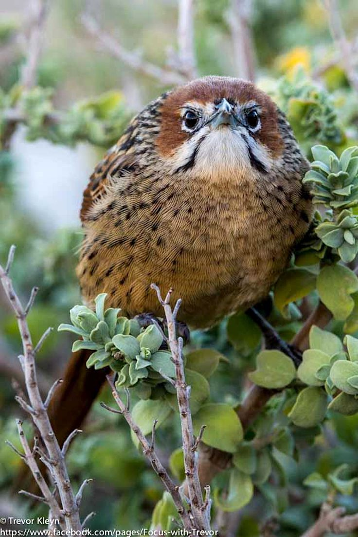 Cape grassbirds breed in S Africa in South Africa, Lesotho, Mozambique and Swaziland with an isolated population in E Zimbabwe. They prefer coastal and mountain fynbos and long, rank grass on mountain slopes or in river valleys. Photographed here in the Western Cape (South Africa). (Trevor Kleyn / www.trevorkleyn.com)