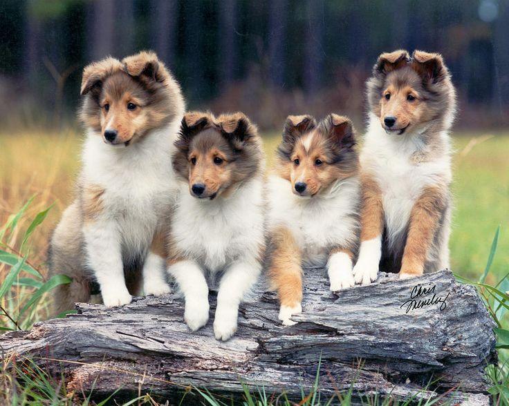 Love Sheltie Pups Photograph  - Sheltie Pups Fine Art Print