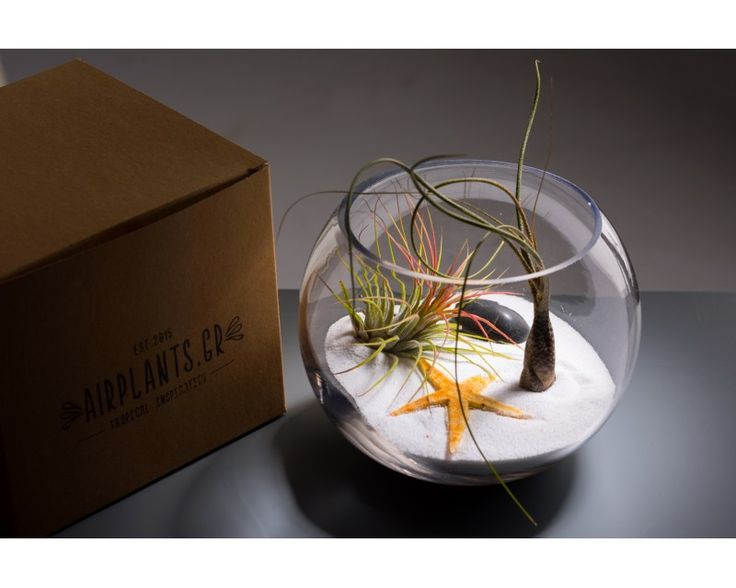 Terra paradise: Air Plant Terrarium from Airplants.gr #Tillandsia  #Ionantha_Rood #Butzi #AirPlant # #Terrarium