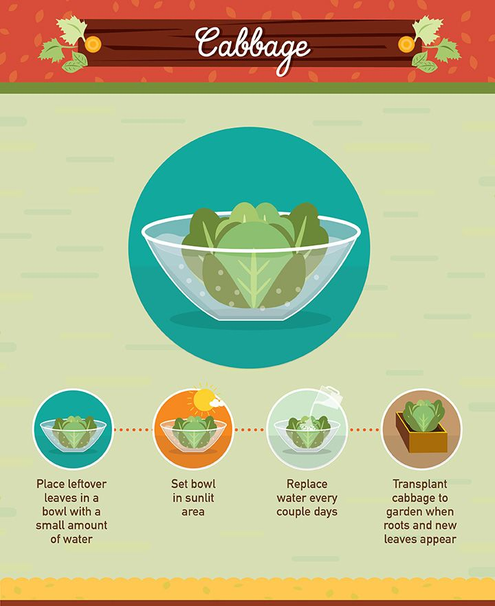 Foods You Can Regrow From Scraps: 17 Best Ideas About Cabbage Plant On Pinterest