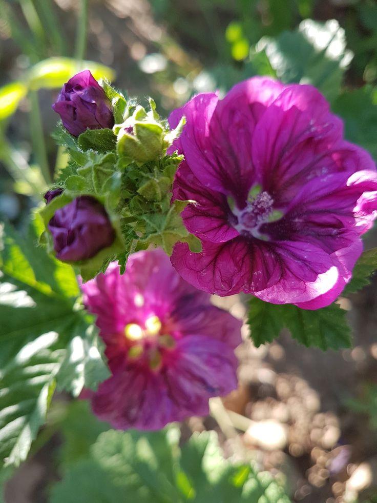 crni slez(malva sylvestris), jako lekovit, jedu se zeleni pupoljci, listovi u salatama, kao i cvetovi, kuva se caj(leci disajne puteve)...jedna je od najlekovitijih biljaka naseg podneblja.raste uz puteve, na livadama, dakle divlje i sve vrste sleza lekovite su.(marija treben...)