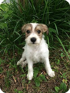 Glastonbury, CT - Jack Russell Terrier Mix. Meet Jack, a puppy for adoption. http://www.adoptapet.com/pet/11204852-glastonbury-connecticut-jack-russell-terrier-mix