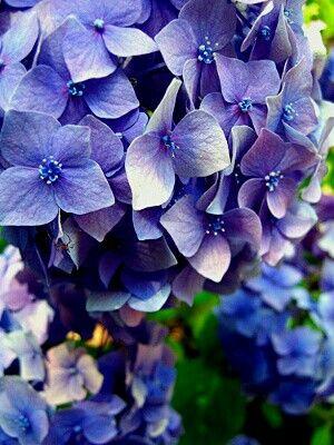 Синяя гортензия Blue flowers