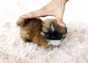 micro teacup pekingese!!! <3  OH MY GOD!  It can be mine for $3500!!!! Eeeeekkkkkkkkkkkkk!  Want!!! Love!!!
