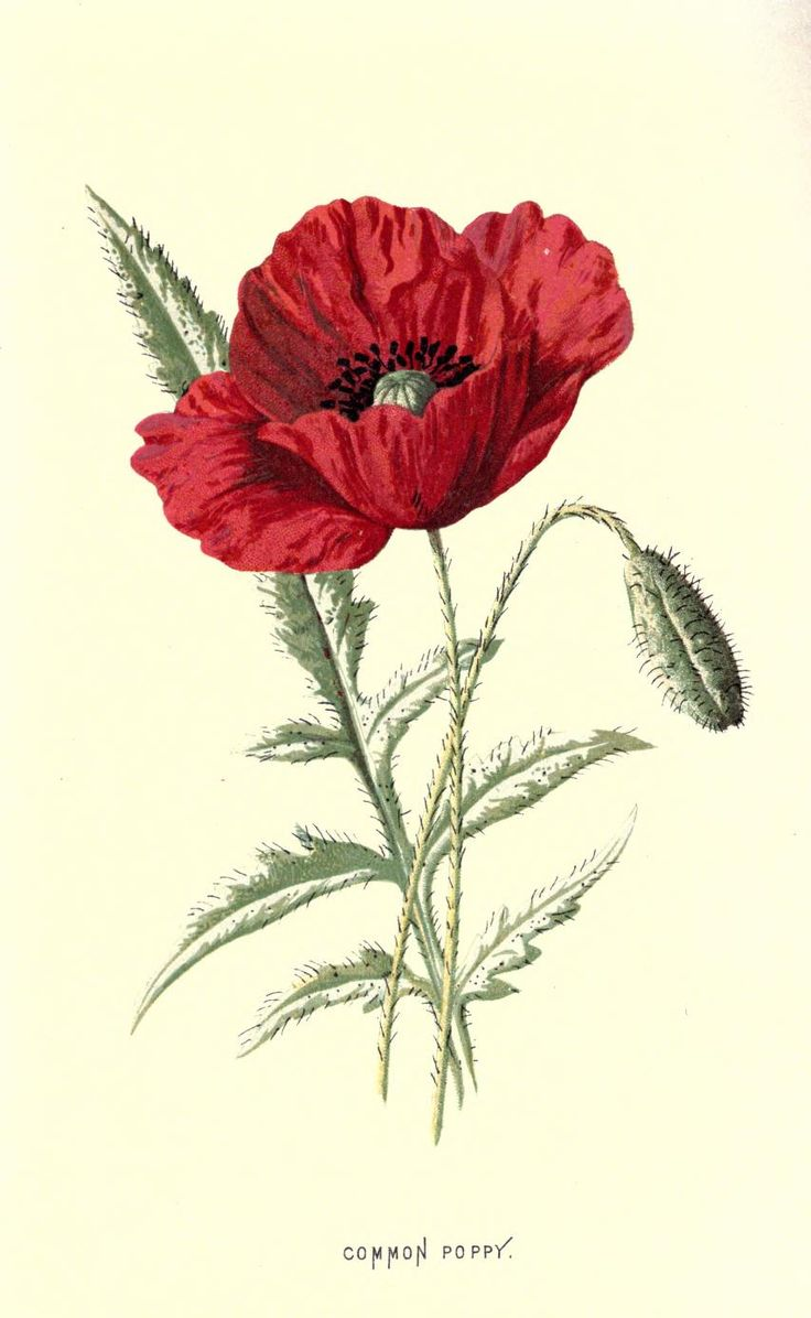 Common Poppy. Plate from 'Familiar Wild Flowers' by F. Edward Hulme. Published 1878 by Cassell, Petter & Galpin. archive.org 853 x 1387