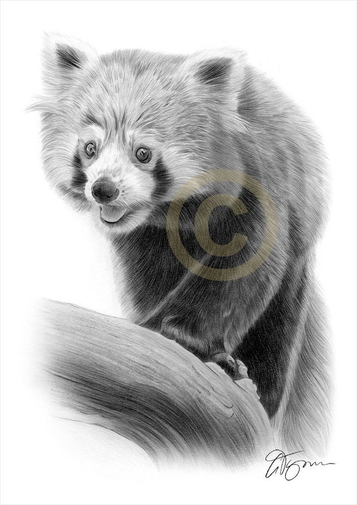 Details About Red Panda Art Pencil Drawing Print A3 A4 Sizes