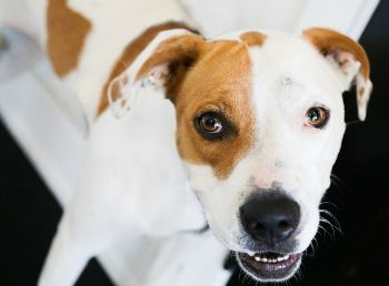 San Antonio, TXMabel 2014a Breed American Bulldog/Hound