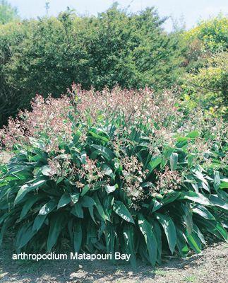 Arthropodium Matapouri Bay- renga renga lily