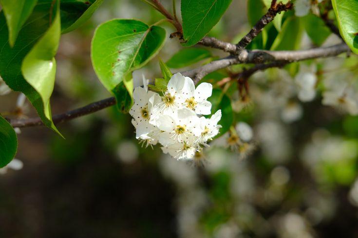 https://flic.kr/p/22v1aiJ   Bradford Pear Blossom