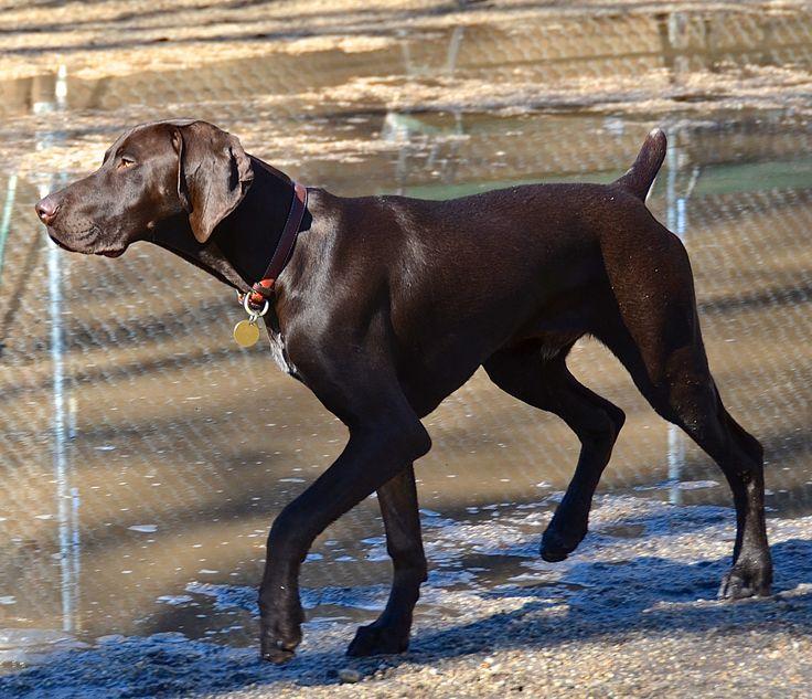 German Shorthaired #Pointer #dog #dogs