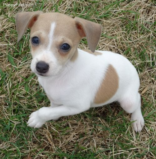 This is Tiny, a rat terrier puppy <3