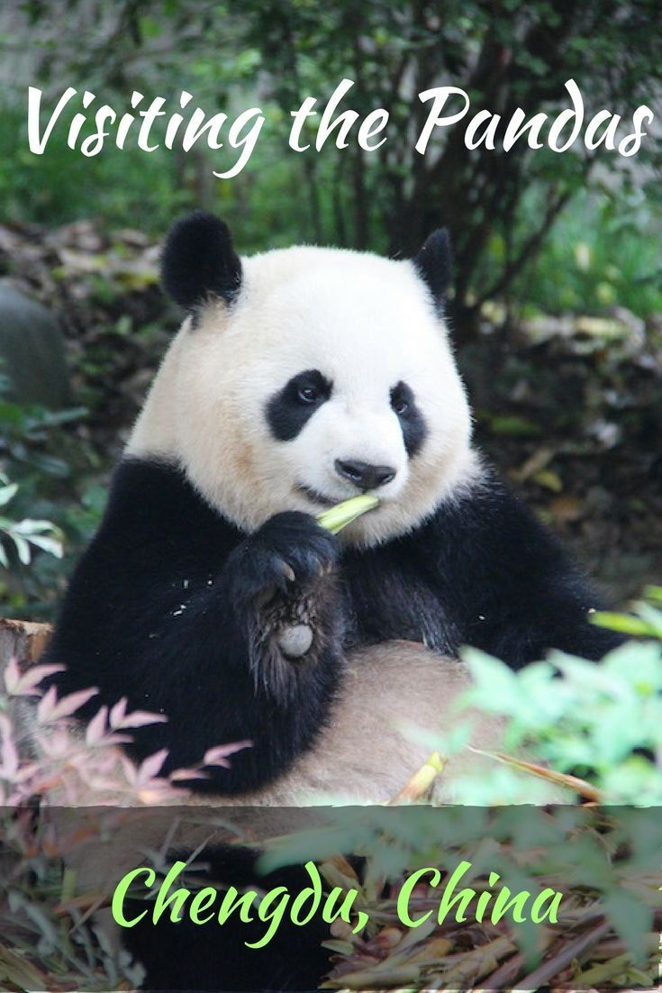 We visit the pandas at Chengdu's panda research and breeding centre - one of China's most popular tourist attractions.
