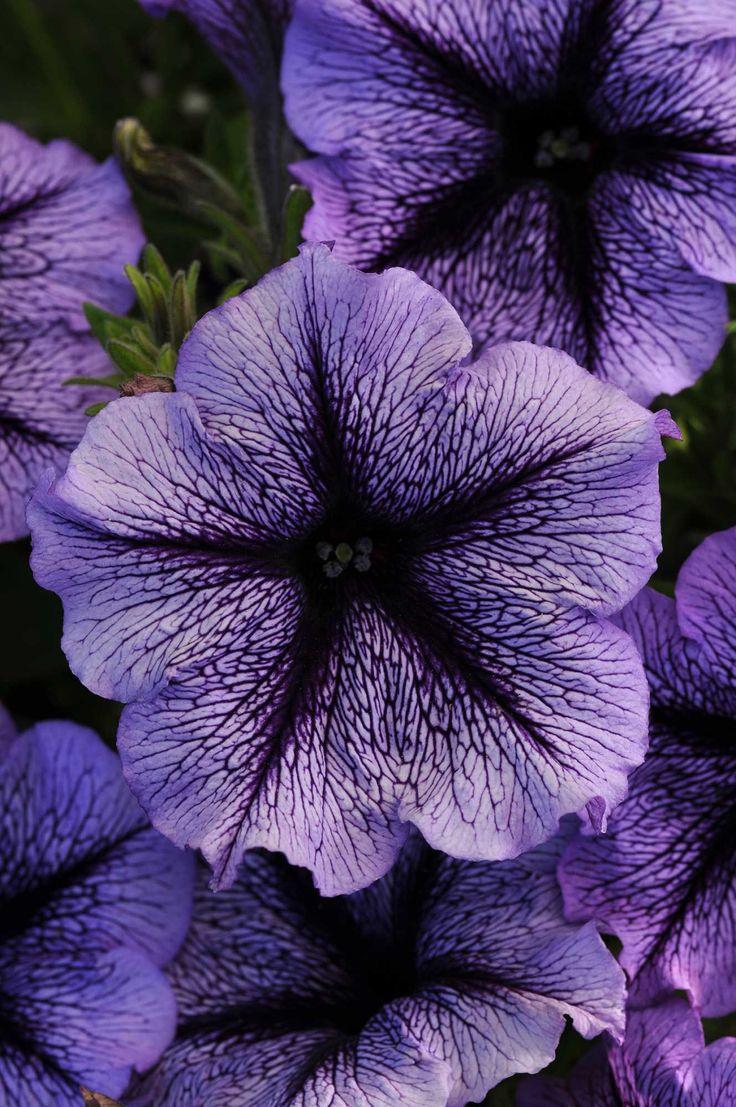 42 best flowers petunias images on pinterest plants container petunia suncatcher blue blast new izmirmasajfo