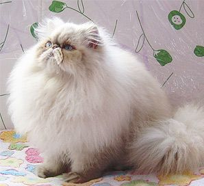 Himalayan Cat and Persian-- GODS GIFT TO THIS WORLD!! I LOVE IT!!!!!!!!!!!!!!!!!!!!!!!!!