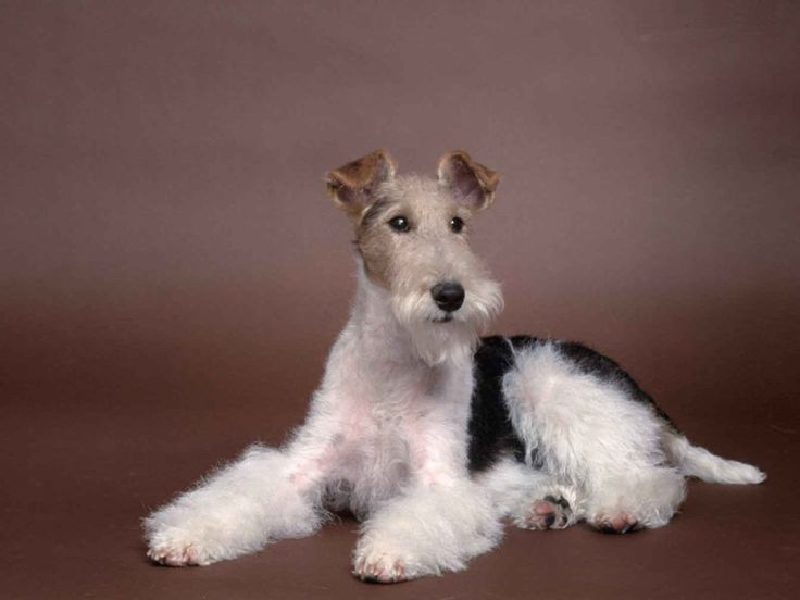 Fox-terriers Club de France