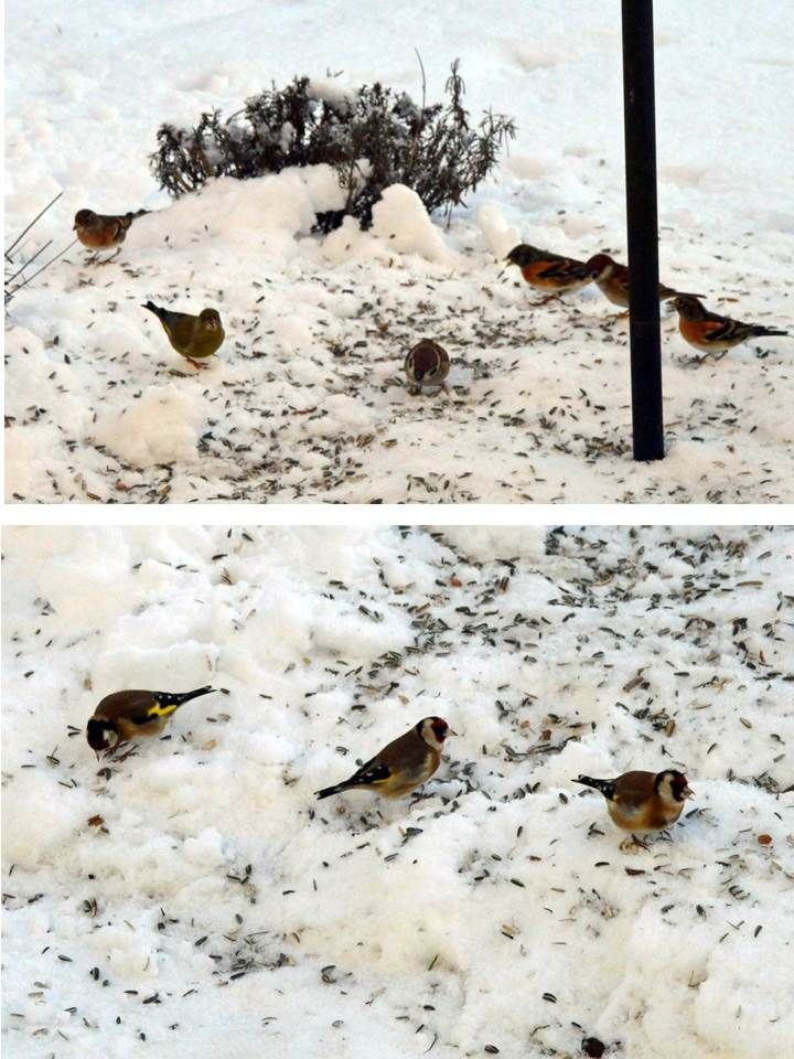 Her ved vintertide får vi ofte besøg af mange af vores fuglevenner, som nyder godt af lidt udlagte lækkerier. Her har vi besøg (øverste billede) af Kvækerfinke (Fringilla montifringilla) og Grønirisk (Carduelis chloris) samt de allestednærværende Skovspurve (Passer montanus). Det er første gang jeg her i haven har set (nederste billede) disse farvestrålende Stillits (Canduelis carduelis).