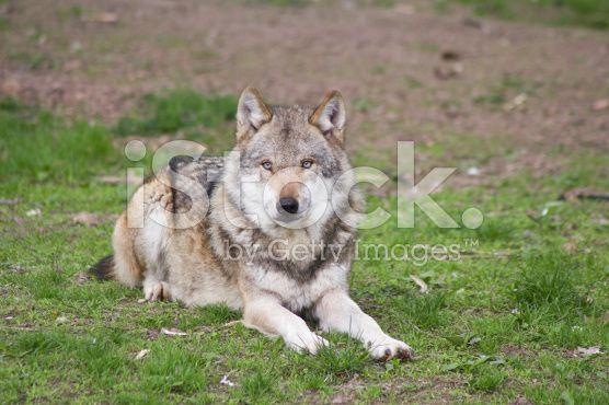 European Wolf – lizenzfreie Stock-Fotografie