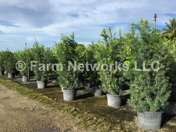 Best Fertilizer for Podocarpus Hedge