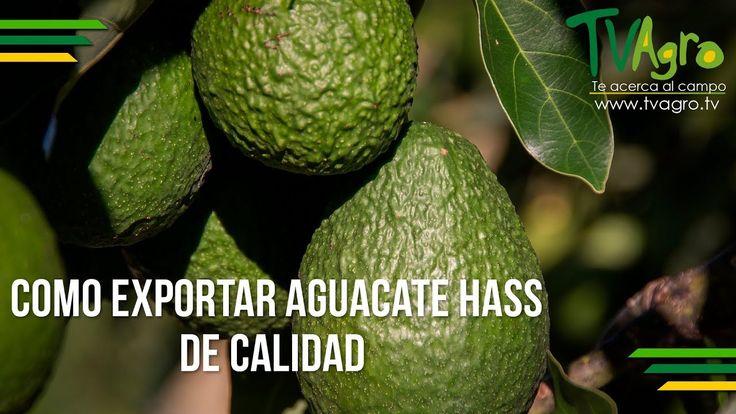 Como Exportar Aguacate Hass de Calidad - TvAgro por Juan Gonzalo Angel
