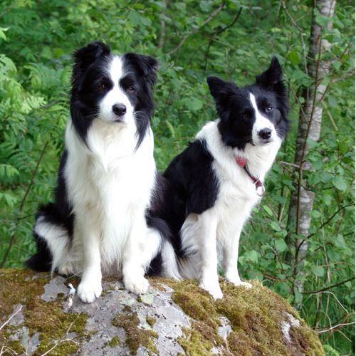Бордер - колли – описание породы, происхождение, темперамент собаки. Фотографии самой умной собаки породы Бордер - колли.