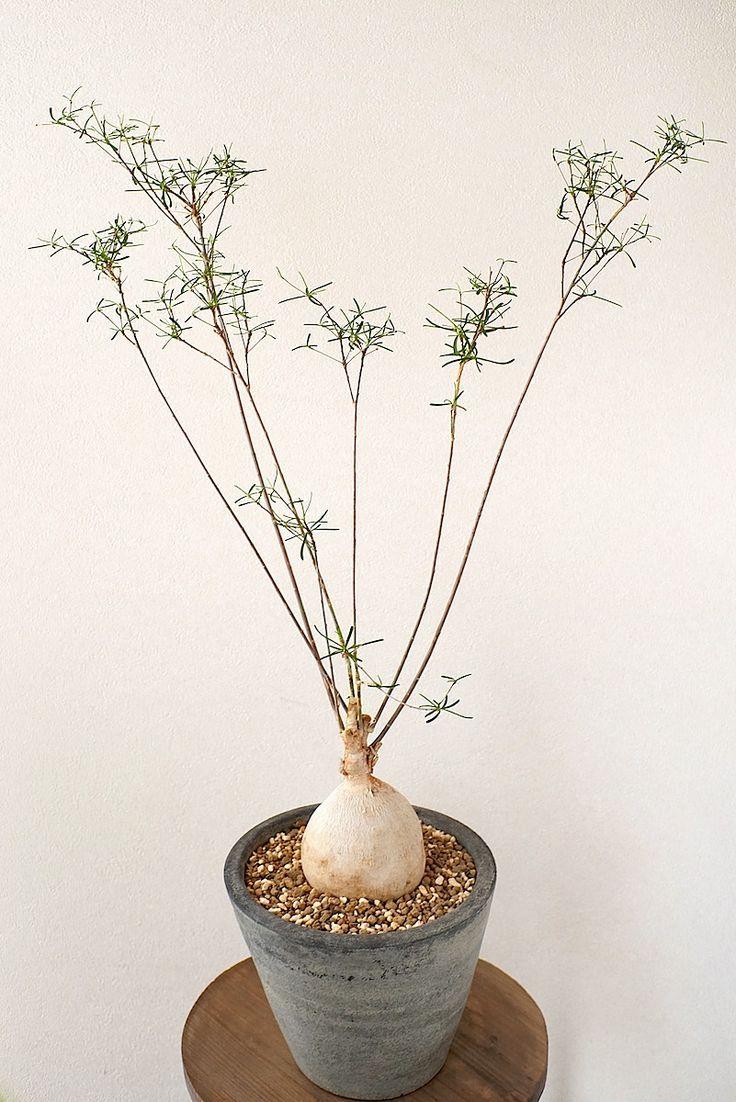 Euphorbia hedyotoides N.E.Br.この種は、草姿が地味なので奇想天外な造形のものが多いユーフォルビアの中では存在感が薄いかも知れま...