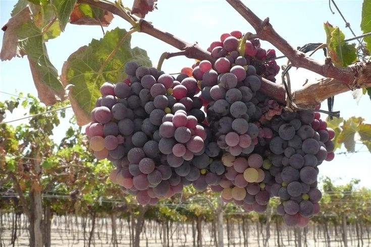 Quebranta grape. Pisco is processed with Quebranta Grapes. This is the variety that comes from the genetic mutation from the black grape brought by the Spanish,  which happened due to the plants' adaptation to the environmental  conditions (rocky soil and desert climate in the Pisco Province, and which  extends to the valleys in the departments of Lima, Ica, Arequipa, Moquegua  and some valleys in Tacna where there are very similar conditions). The  Quebranta grape is a non-aromatic variety.