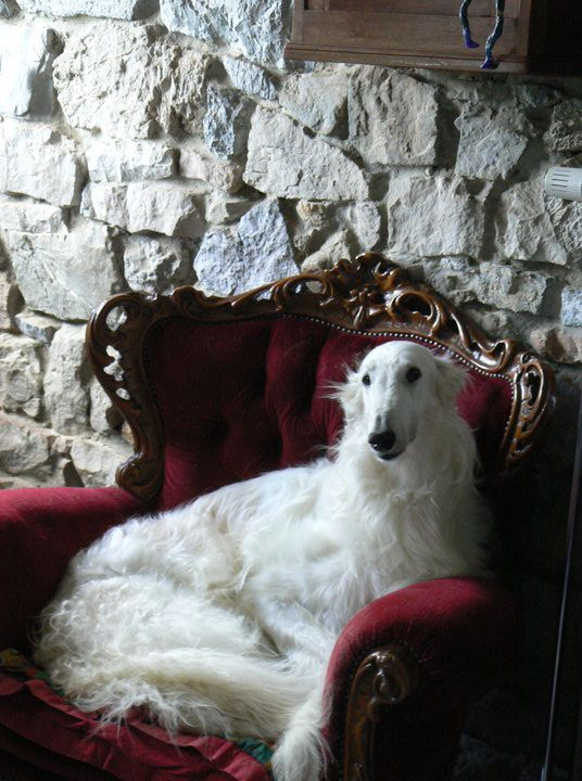 Borzoi. they are just lovely but the coat requires a little more work than a greyhounds. he he