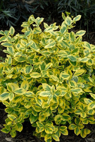 Gold Splash® Wintercreeper (Euonymus fortunei), a Proven Winner variegated…
