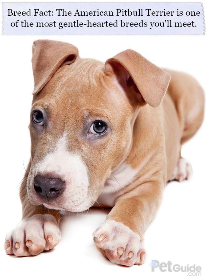 American Pitbull Terrier Pitbull Terrier American Pitbull Pitbulls