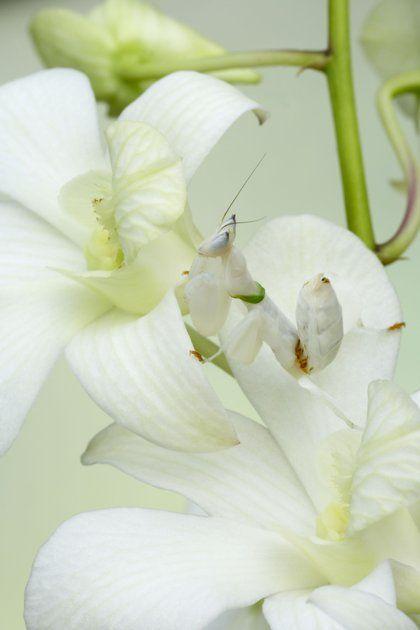 orchid mantis pretty