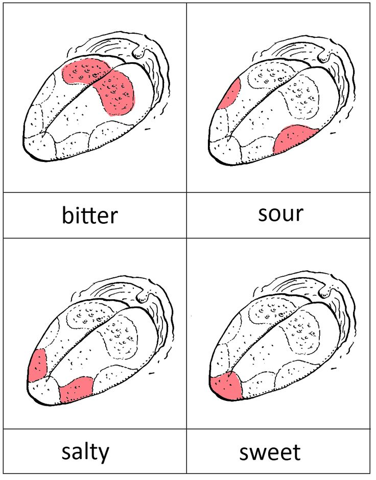 taste buds printable for Lentil