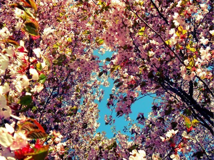 The blooming mountain of Kinnekulle  Photo: Carin Österdahl
