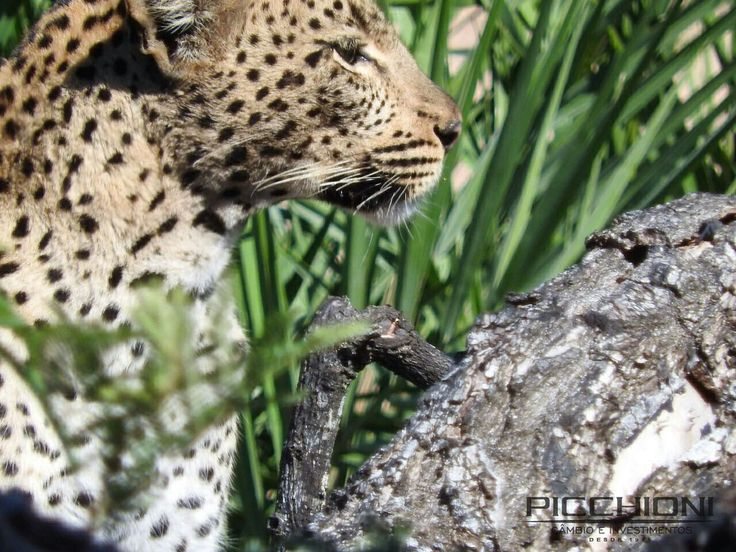 Leopardo fotografado durante safári no Kruger Park, África do Sul. Durante os safáris no maior parque natural do país, encontrar tão de perto um animal como este é uma raridade. Foto: Arquivo Picchioni @renatacosso  #viajandopelasfotosdomundo #africa #safari #leopardos #southafrica #krugerpark #picoftheday #moneyexchange #wanderlust #picchionicambio
