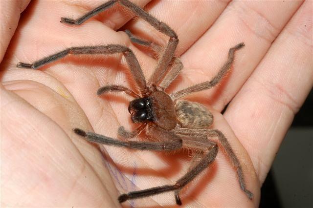 Huntsman Spider: Glow Spiders, Best Friends, Beautiful Animal, Huntsman Spiders, Dead Spiders, Beautiful Australia, Australian Animal, Australia Animal, Australian Creatures