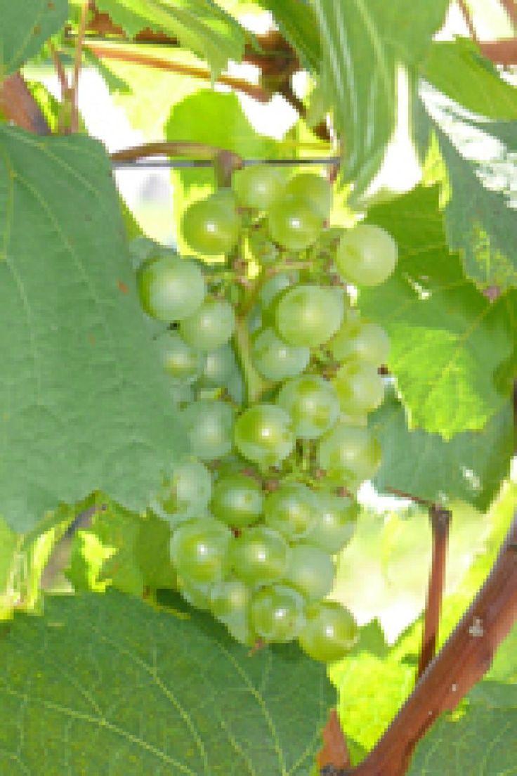 Kernlose Trauben - Weintrauben