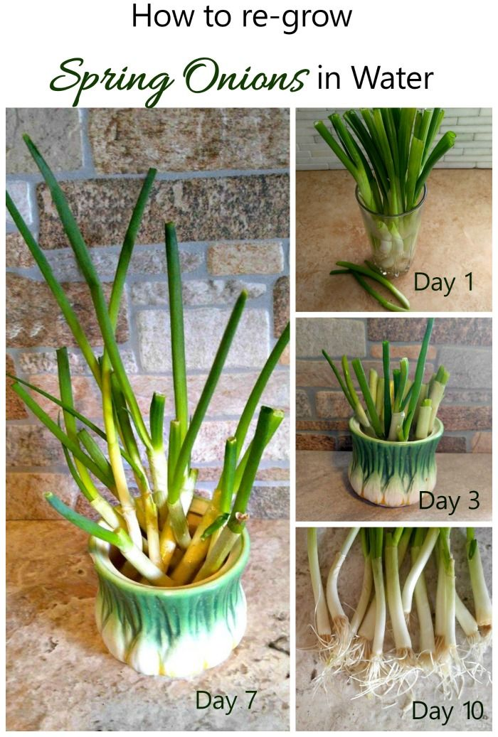 Spring onions are one of the easiest cut and come again vegetables. In a week, you will have more growth to use in cooking.