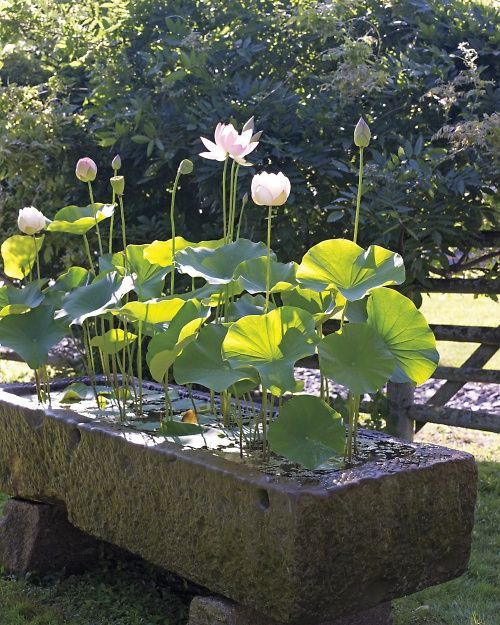 Stone water trough holding lotus plants and made from hypertufa.