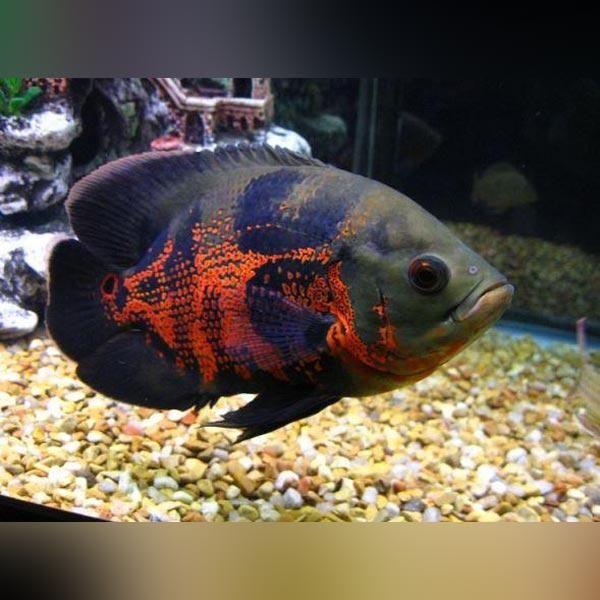 Tiger Oscar Oscar Fish Pet Fish Tiger Oscar Fish