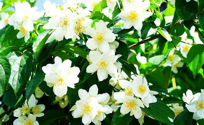 Cercetătorii au descoperit că parfumul iasomiei este la fel de eficient ca și medicamentul Valium în reducerea anxietății. Iasomia are o acțiune neurochimică asemănătoar ebarbituricelor.
