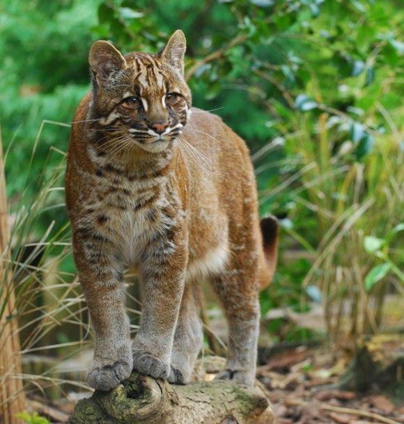 アジアゴールデンキャット 熱帯雨林などの常緑樹林が生い茂る場所や、落葉樹林がある乾燥した地域など様々な条件下に生息している。他の猫同様、その毛皮と骨を狙った乱獲と近年の砂漠化のせいでその個体数を大きく減らしている