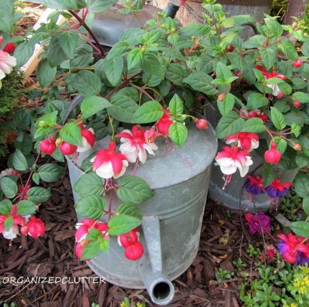 {Vintage} Garden Full of Fuschias!