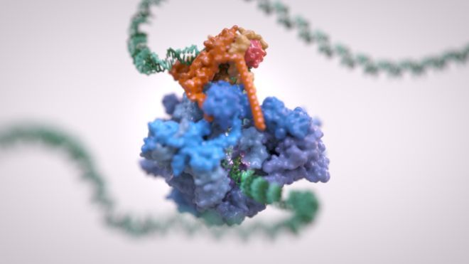 It is RNA polymerase III's job to come along and transcribe the DNA. The team at the Institute of Cancer Research used a technique called cryo-electron microscopy.  They purified RNA polymerase III, immersed it in water and then rapidly froze it. This preserves the microscopic structure of objects and even captures them mid-movement.  A beam of electrons is then used to take images from lots of angles, which are then built up into a detailed 3D image.