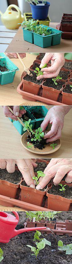 Астра: выращивание рассады в домашних условиях.