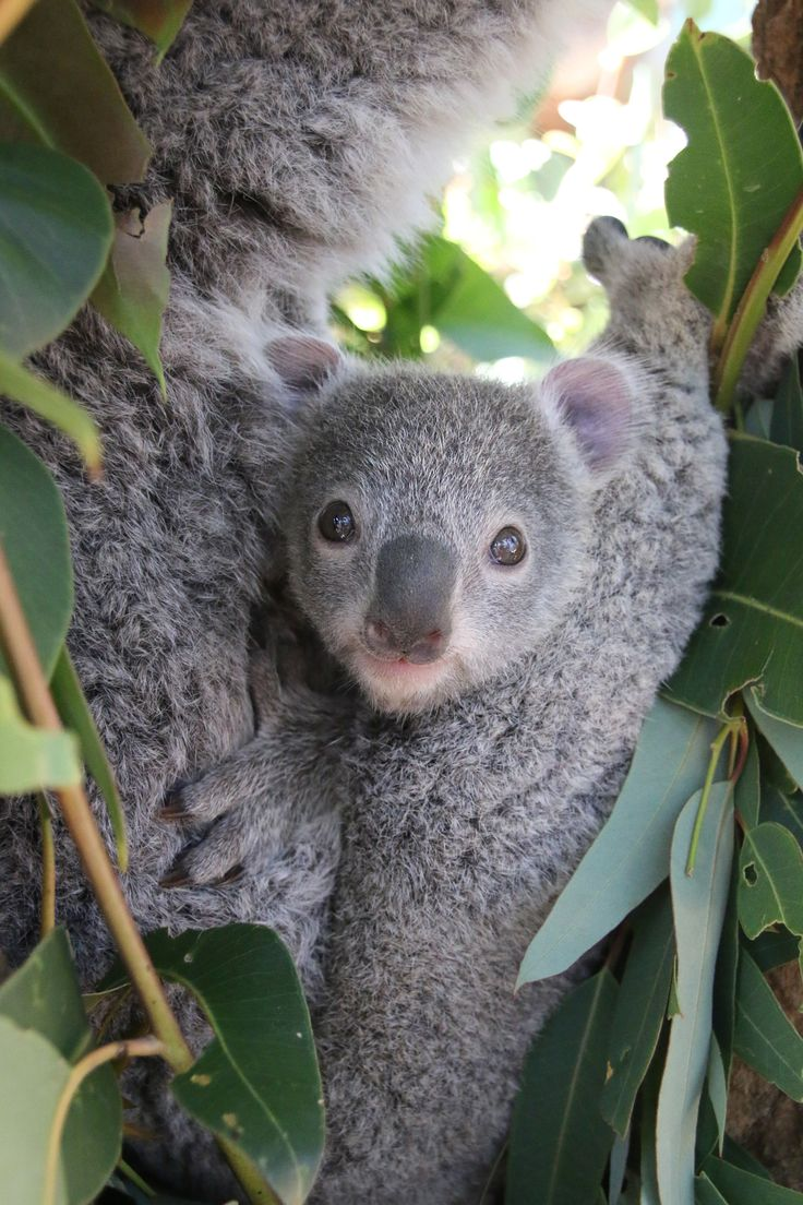 Taronga Zoo's Koala keepers received an early gift this past festive season…two Koala joeys emerged from their pouches just in time for Christmas! More adorable pics of both joeys at ZooBorns: http://www.zooborns.com/zooborns/2017/01/two-koala-joeys-emerge-at-taronga-zoo.html